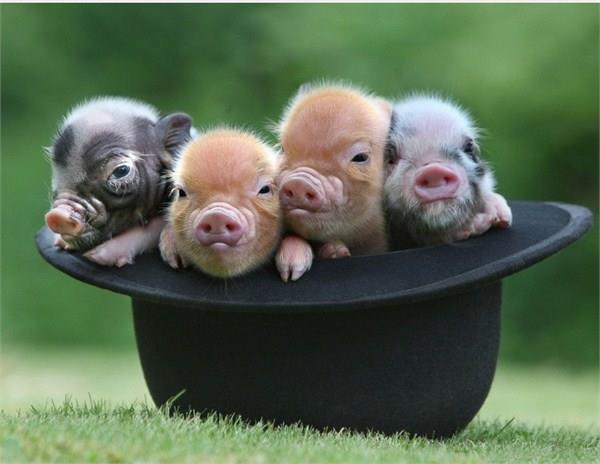 世界上首例机器人克隆猪在天津出生