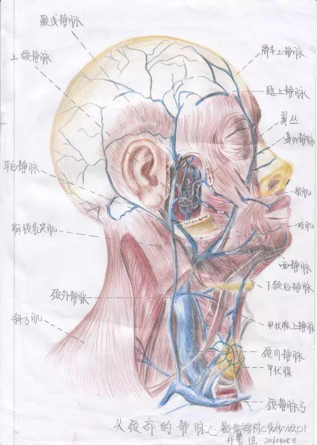 这美女厉害了!内蒙古大学生手绘人体解剖图走红网络!