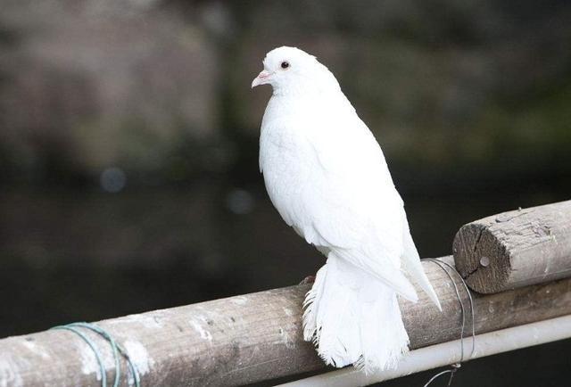 鸟类鸽鸽子鸟恐龙640_434动物葛蒂创作者图片