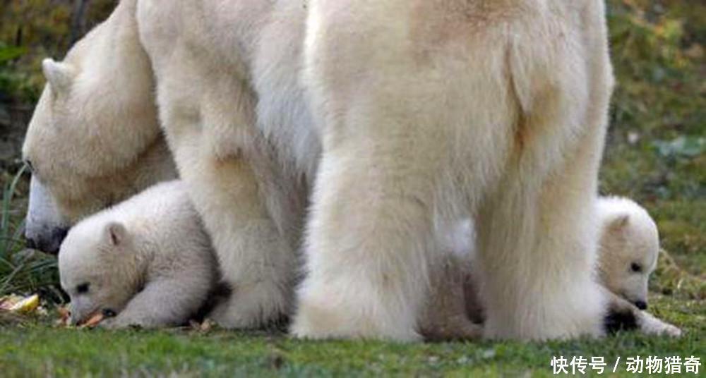 北极熊仓鼠第一次室外v仓鼠,互抱着不撒手,几分钟后乐翻了空调能待在宝宝房里吗图片