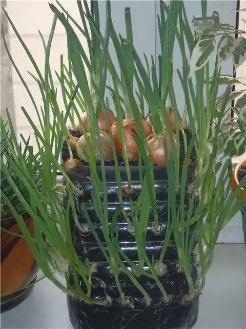 塑料瓶种�9f�x�~j�>�X_老妈巧用塑料瓶种大蒜洋葱,1个桶能种几十颗,吃都吃不