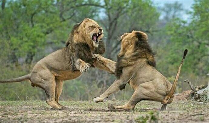 六种常见猫科动物的实力对比,老虎和狮子等的战斗力分析