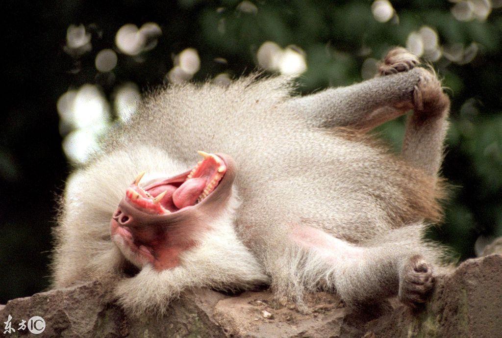 打盹睡觉才是硬道理,看看各种动物打盹时的呆萌样,猴子赢了