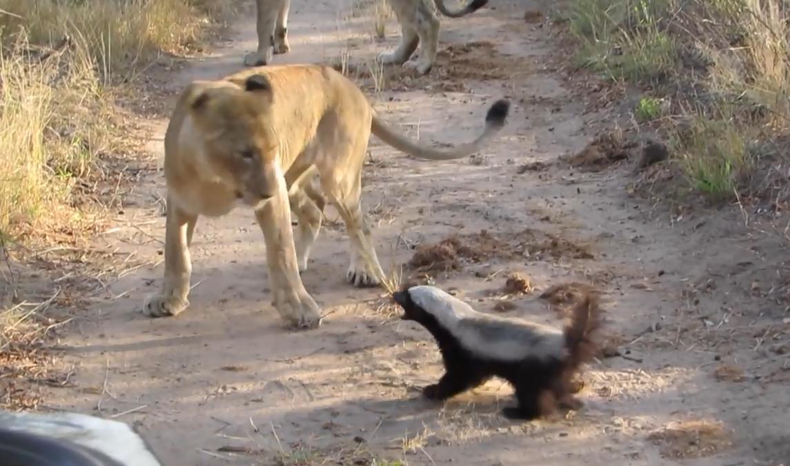 """动物世界的""""小霸王"""",看谁不爽怼谁,狮子老虎不是对手"""
