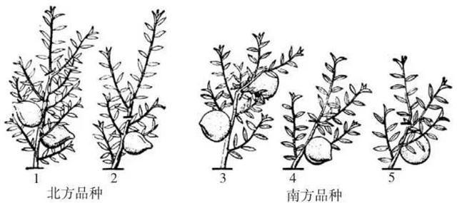 手绘素描桃树图片