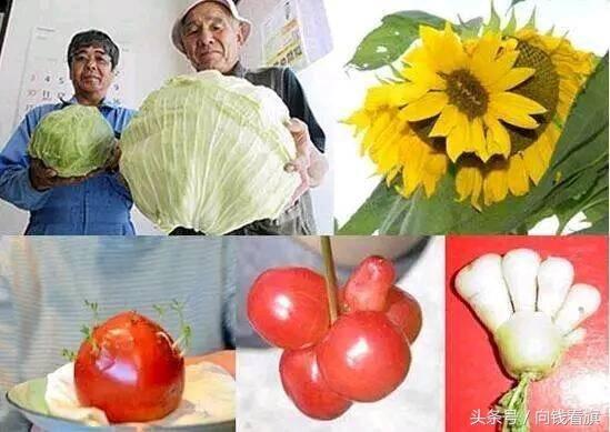 据日本研究福岛核辐射后的蝴蝶变异情况的专家,冲绳琉球大学的教授