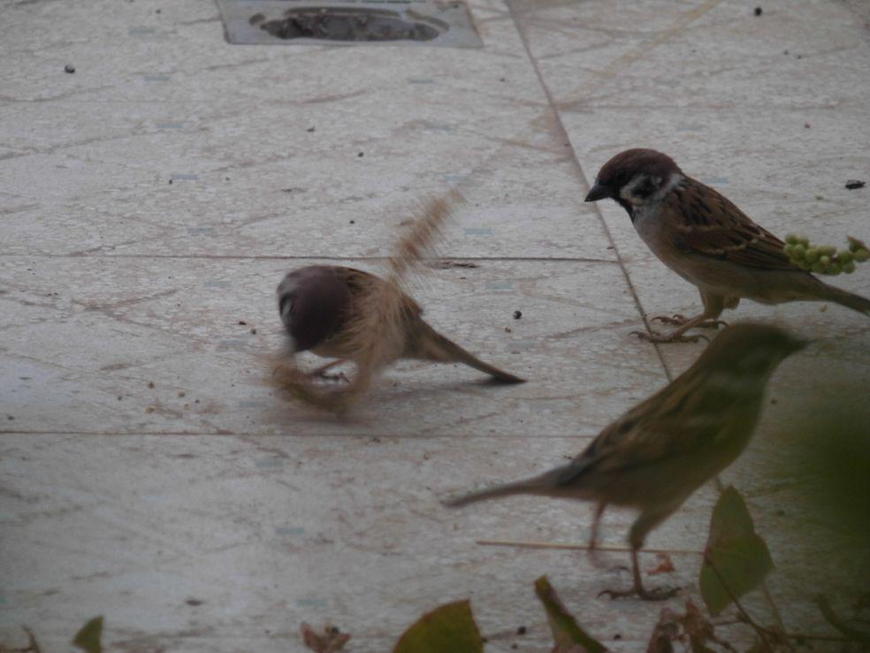 鸟偷拍_偷拍小鸟,竟然喜欢吃狗尾巴草难得一见,见者发财