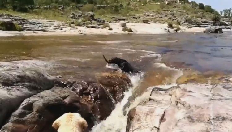 准备穿越一条河流,由于河水非常湍急,一条狗狗在过河的时候被急流冲走