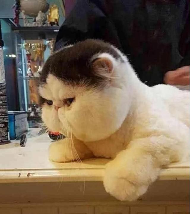 加菲猫是一个很完美的品种,经过了多年的品种改良,它依然保持着与波斯