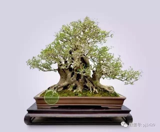 对节白蜡生长缓慢,寿命长,树形优美,盘根错节,是园林,盆景,根雕家族中
