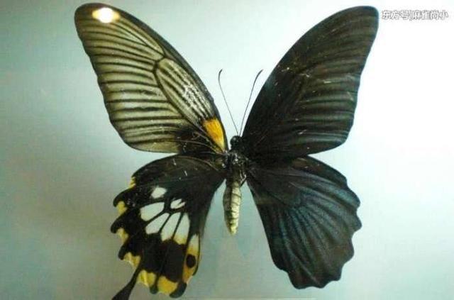 鬼美人凤蝶,据称这是一类在我国云南发现的神秘蝴蝶,它的双翅的形状