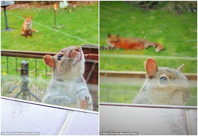 英松鼠被狐狸追踪敲窗求助 呆萌可爱