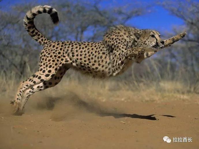 ()过去曾经回答一个问题:为什么动物没有腿肚子.