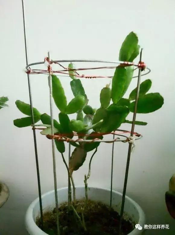 这叶仙竟然是万能嫁接砧木啊!全身都接满蟹爪兰跟仙人图片