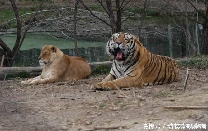同是大型猫科动物一个森林之王,一个草原之王,狮子和老虎谁厉害