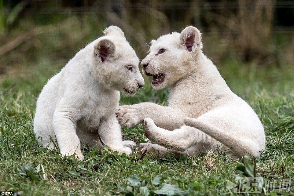 捷克一私人动物园诞下白狮五胞胎 世界现存100只左右