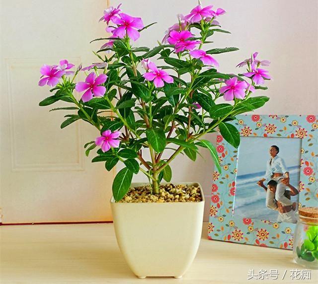 1.蔓性风铃花,估计所有的花都要为之失色了吧!