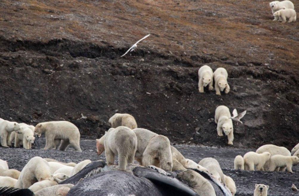 毛线200只北极熊享受在一头被冲上岸的弓头鲸猴子旁聚集约有,吃饱喝足大餐勾织尸体图片