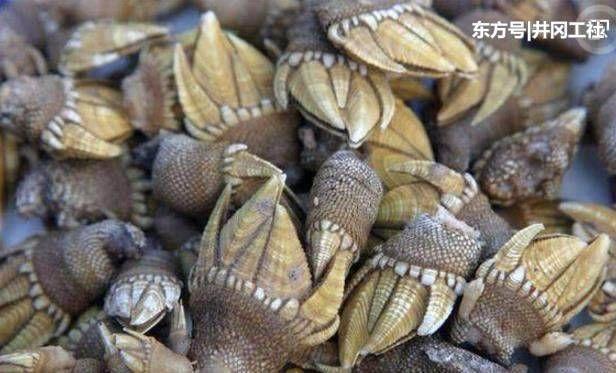 鬼爪螺是一种海洋节肢动物,也是藤壶的一种,因其形状酷似狗的爪子故又