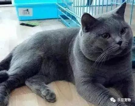 帮忙看看这只蓝猫纯吗,品相怎么样