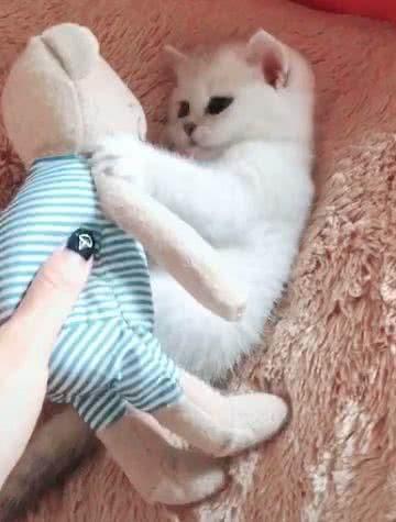 调戏小奶猫,假装抢走布娃娃,猫咪的表情萌翻了