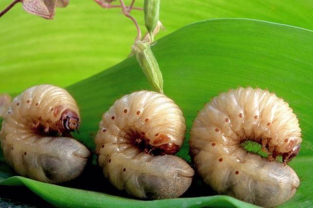 金龟甲幼虫能吃吗