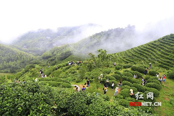 有才的快来!背诵茶诗 南岳衡山景区免费游