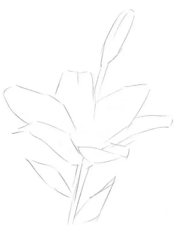 一,素描百合花的绘画步骤 1,先大体地画出百合花的轮廓.