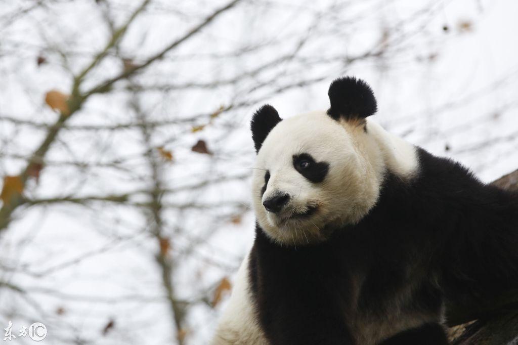 壁纸 大熊猫 动物 1024_682