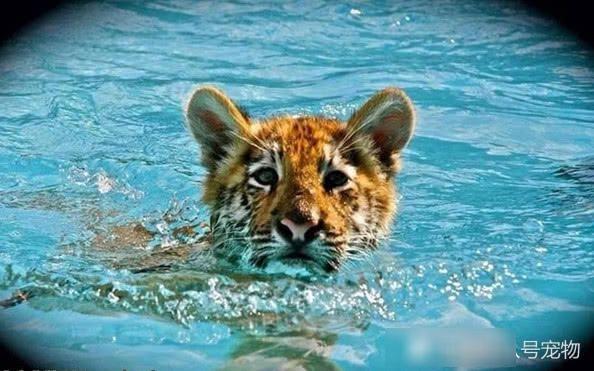 小老虎陪身材性感的美女游泳!每次游到美女身边都会做