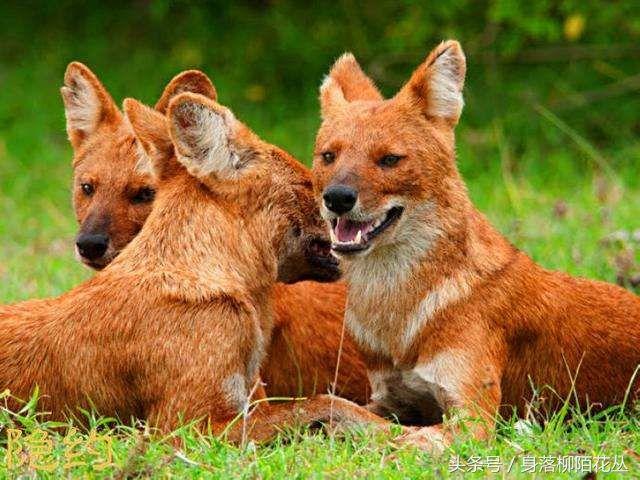 豺狗:陆地上最强的动物群体