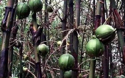 以前只听过竹子开花节节高,但是从来没听过竹子结果实,据了解,男子上