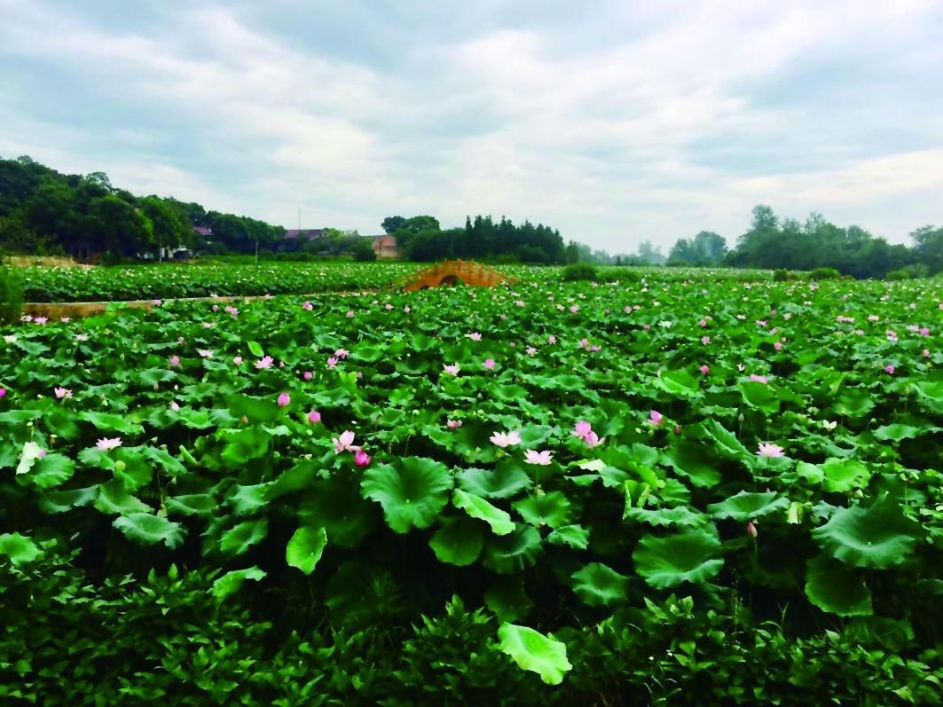 壁纸 成片种植 风景 植物 种植基地 桌面 1063_797