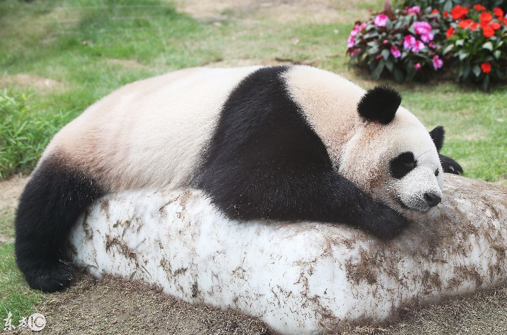 壁纸 大熊猫 动物 1024_678