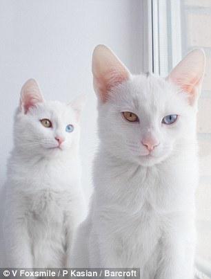 俄双胞胎猫咪同患异色症 眼睛一黄一蓝