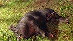 700斤重野猪闯后院 男子连开3枪射杀
