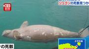 """冲绳海边发现""""美人鱼""""尸体?日本前首相:被填海造陆害死的"""