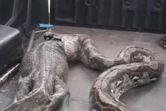 女子发现巨蟒 被抓后它竟从体内吐出一条巨蜥