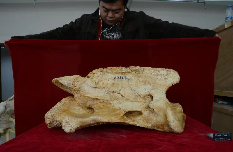 超过一米的巨犀头骨被发现距今约2650万年