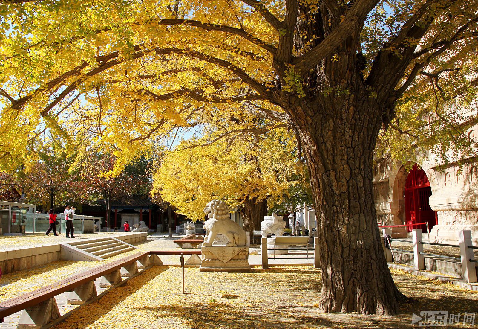 这家博物馆能赏六百岁银杏树 关键是人少又安静