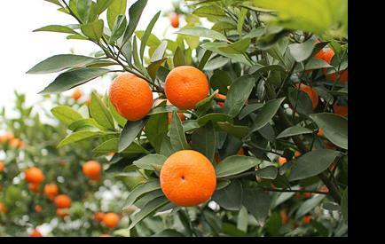 蜜桔的营养价值你了解吗?蜜桔的功效与作用你