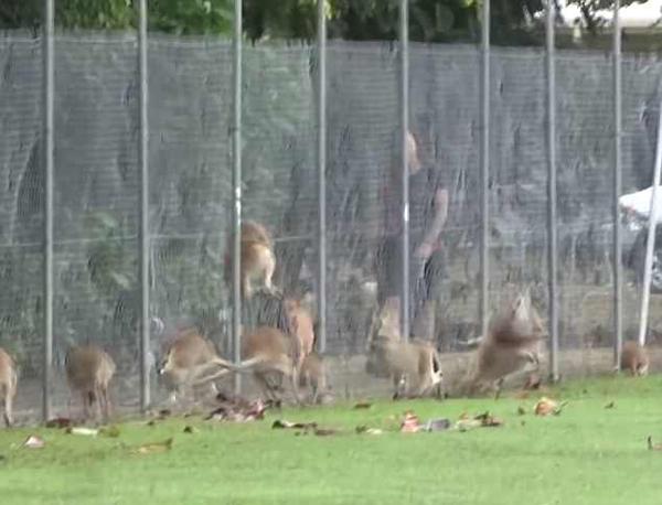 澳公园沙袋鼠不堪饥饿与精神重压 80只撞死在铁网上