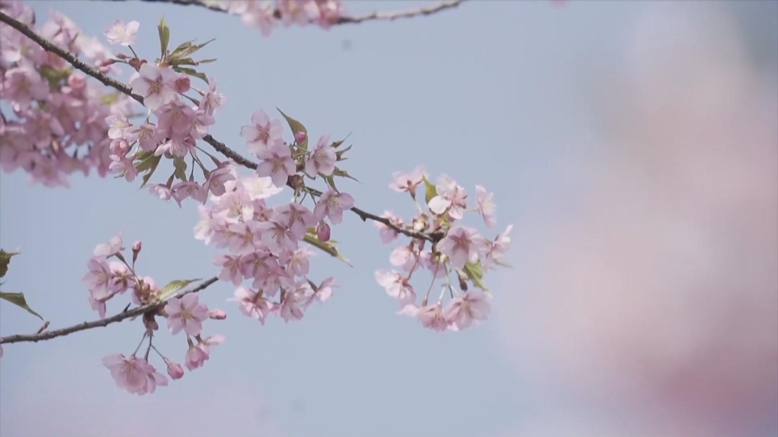 上海:又到一年樱花盛开时!