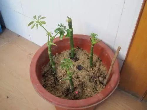 一段枝条,插一棵招财树,扔进花盆就发芽,一个月爆满一大盆 - 行者 - wangkeqin 的博客