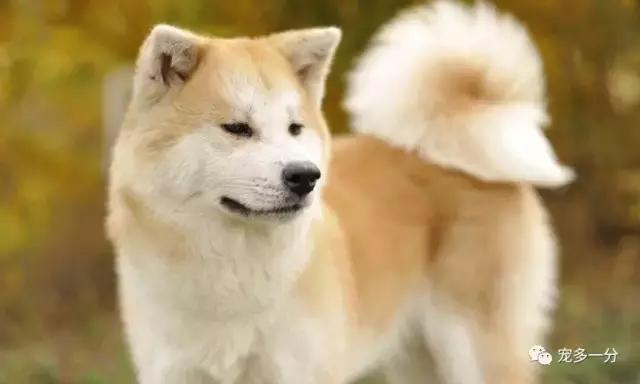 全球最忠诚十大狗狗排名:金毛第十,秋田犬第五,厉害了我的土狗 - 枫叶飘飘 - 欢迎诸位朋友珍惜一份美丽的相遇,珍藏
