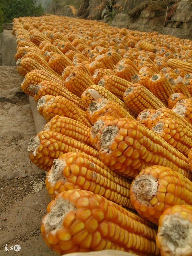 东北玉米又涨了!全国各地区玉米涨跌理由带你看一看!